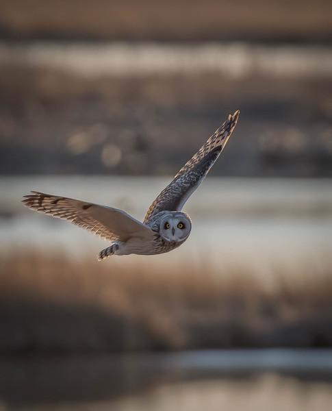 _5006139-Edit Short-eared Owl fly by wings posed.jpg