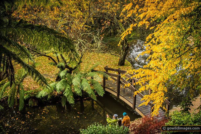 Tree ferns and Ginkgo trees by the lake, Alfred Nicholas gardens
