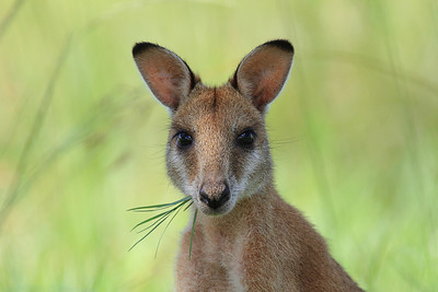 Kangaroos, Wallabies