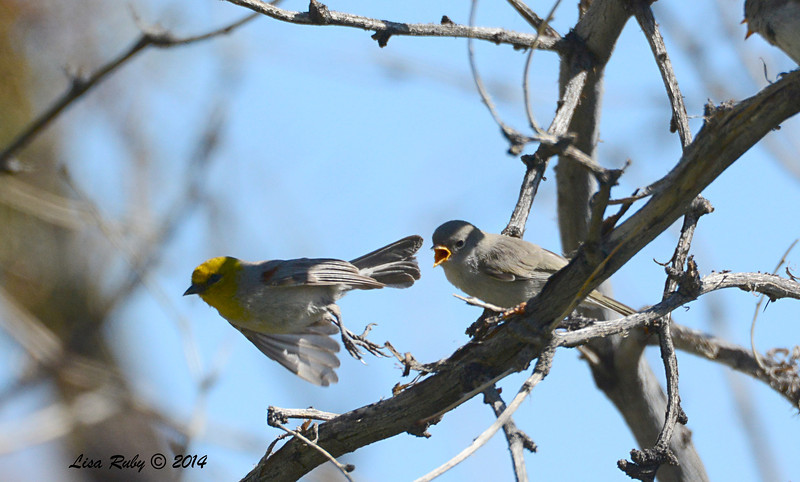 Wait, I'm still hungry! Verdin with fledgling - 4/6/2014 - Agua Caliente County Park, San Diego