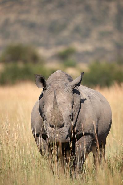 White Rhino - 5521.jpg