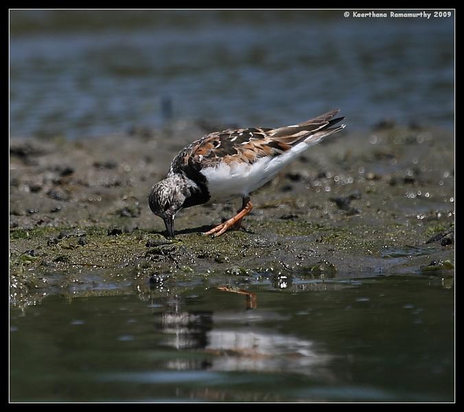 Ruddy Turnstone in breeding plumage, Robb Field, San Diego River, San Diego County, California, August 2009