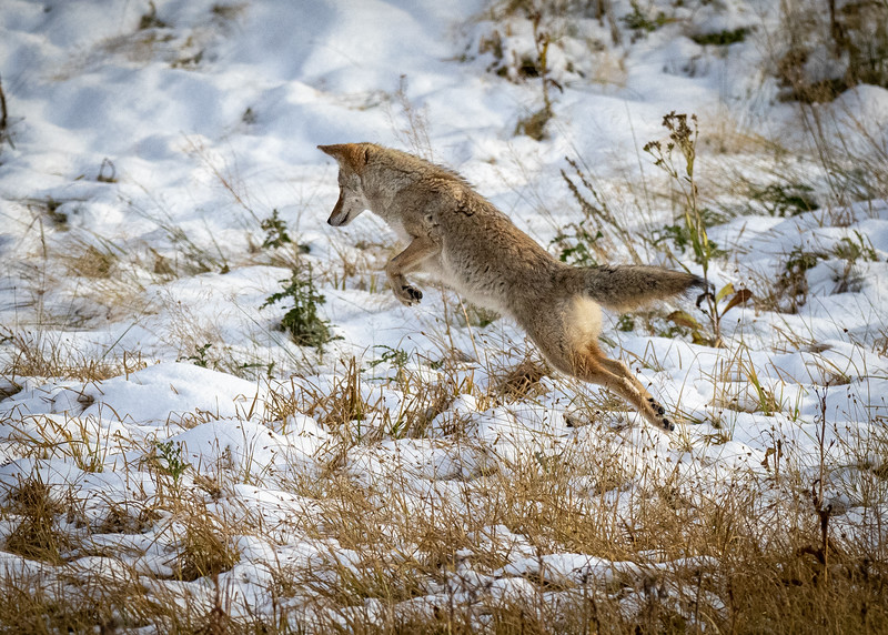 Coyote Hunting, Yellowstone National Park