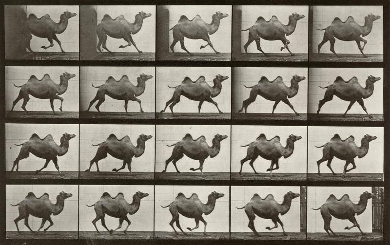 Bactrian camel galloping (Animal Locomotion, 1887, plate 739)