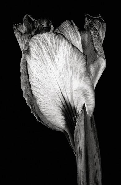 japanese-iris-08.jpg