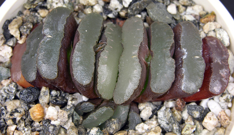 Haworthia truncata ex Lombard #1