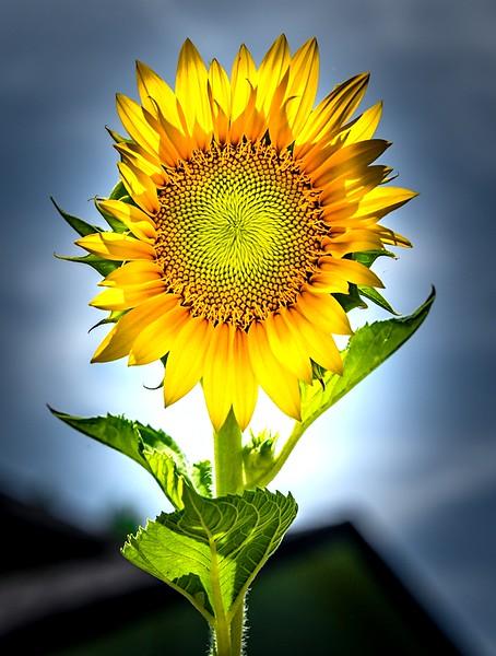 Peter Reali.Sun Burst.jpg