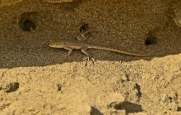 Side-blotched Lizards, Wallula Unit, MNWR, 9-30-15