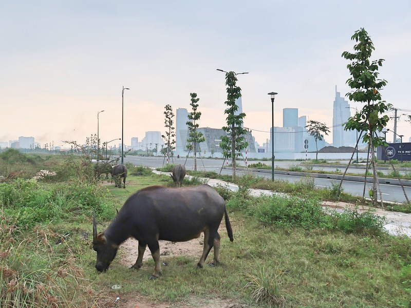 IMG_4864-thu-thiem-buffalo.jpg