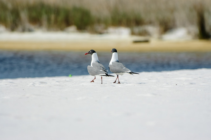 20050416 Destin Beach Birds 037.jpg