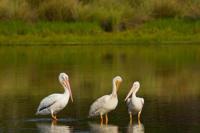 American White Pelicans - A trio socialize in the shallows of Tower Pond