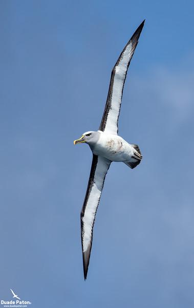 931-Buller's-Albatross-SnaresIsland-131213.jpg
