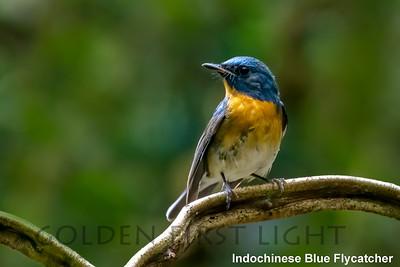 Indochinese Blue-Flycatcher, Baan Maka Neung Hide, Thailand