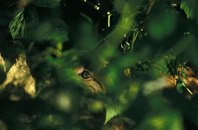 Lynx kitten hiding behind a bush