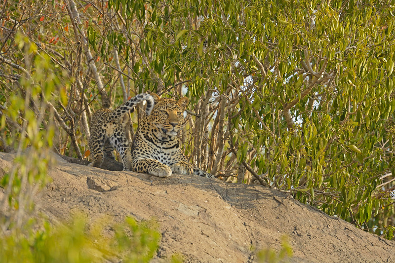 African Leopard (Panthera pardus pardus) and her young cub on a rock in Masai Mara