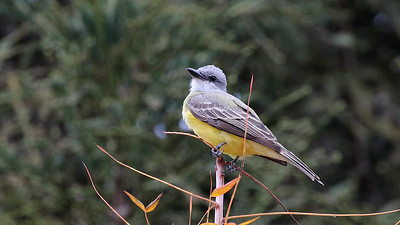 Tulare County Bird Image Library