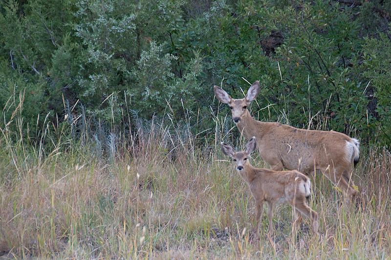 Deers roaming freely in Theodore Roosevelt National Park, North Dakota