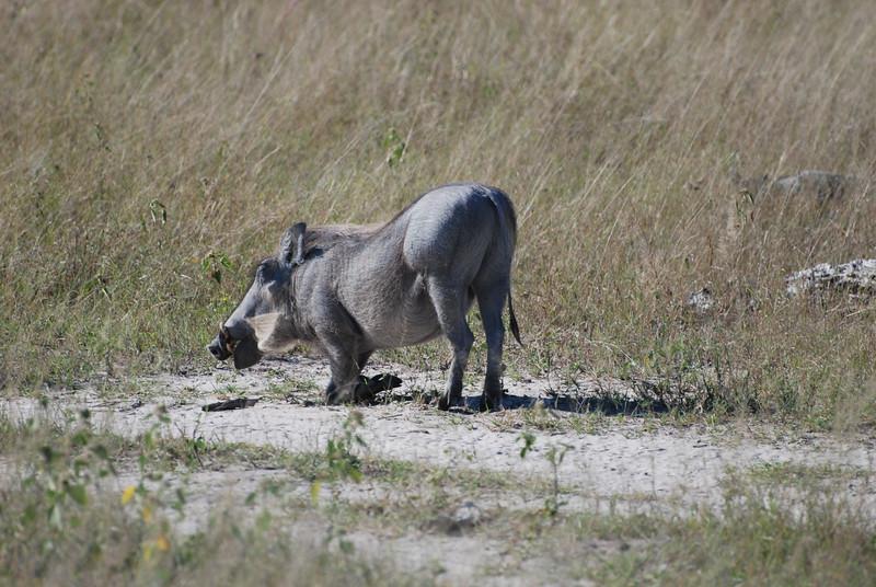 Warthog - Lesleigh Forsyth