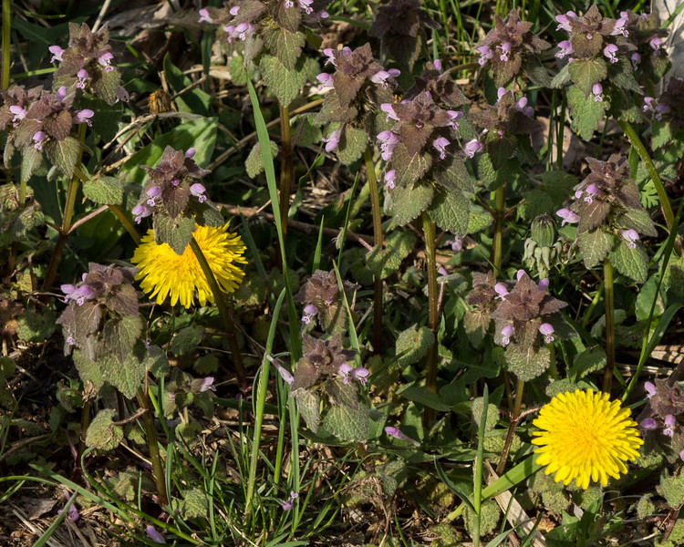 Delicious dandelion flowers growning amidst that whatever it is tha covers most open areas in the sping with little purple flowers.