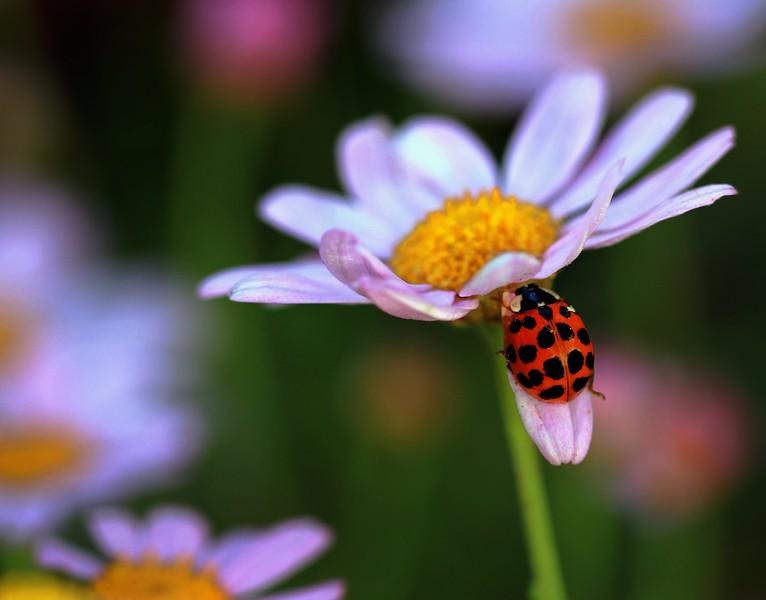 SMlady bug wild 7_pe.jpg