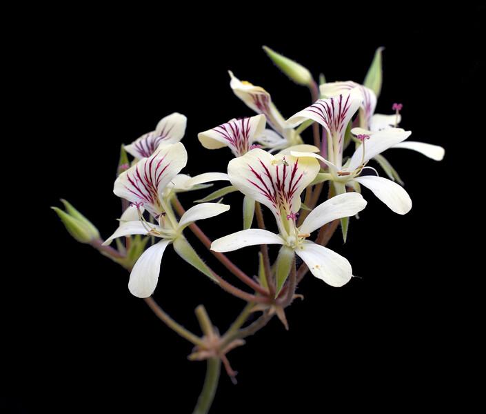 Pelargonium oblongatum 2020-05-11.jpg