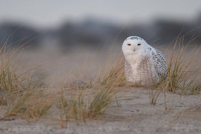 Snowy Owl_O8U0898-Edit-Edit.jpg