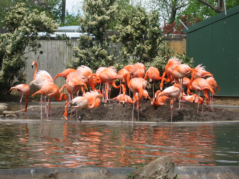 Flamingos at the Smithsonian's National Zoological Park (4/23/11)