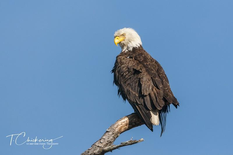 Bald Eagle Perched in Snag Seven-1554672136805.jpg