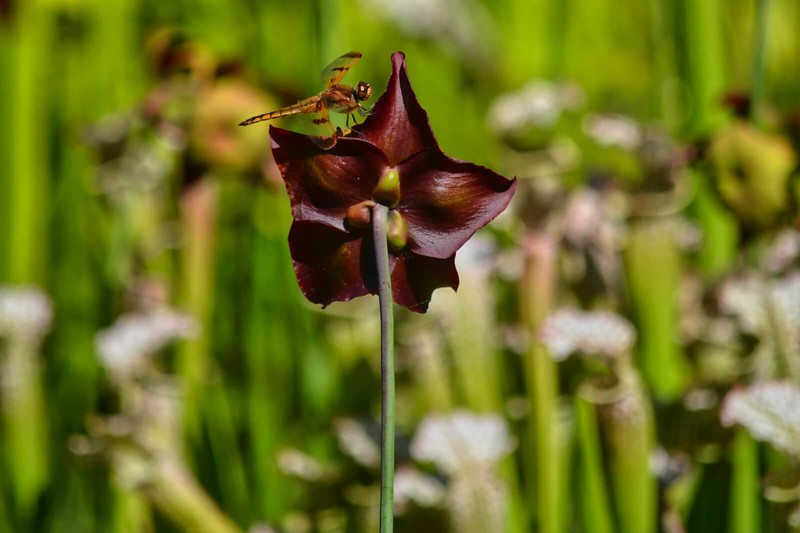 Dragonfly on a pitcher plant bloom