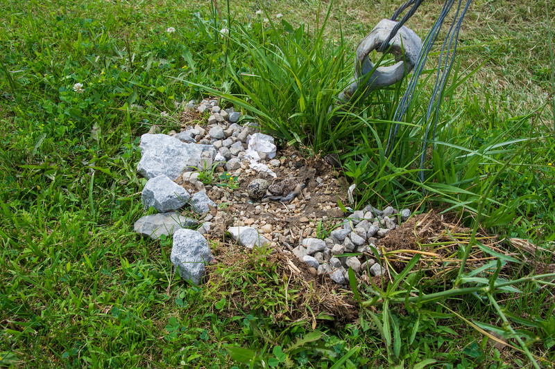 Killdeer-nest-babyhatchlingandegg-Springfield.jpg