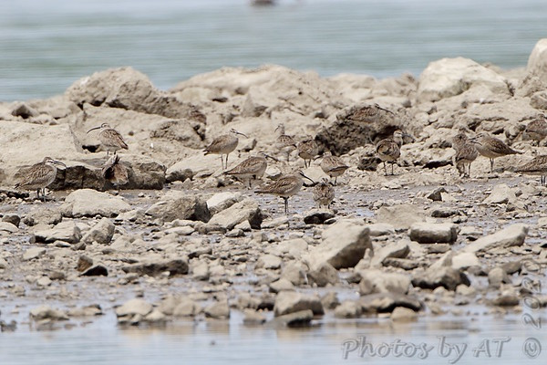 2020-05-24 Whimbrel - Riverlands Migratory Bird Sanctuary