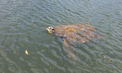 We saw about 10 sea turtles on our kayak ride on the Kayaking on the Anahulu River