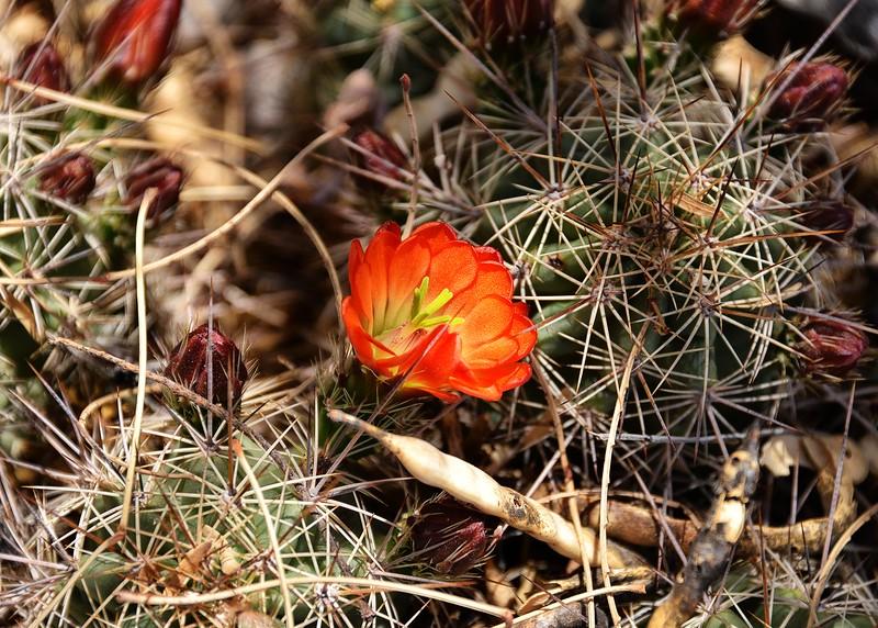 NEA_5514-7x5-Cactus Flower.jpg
