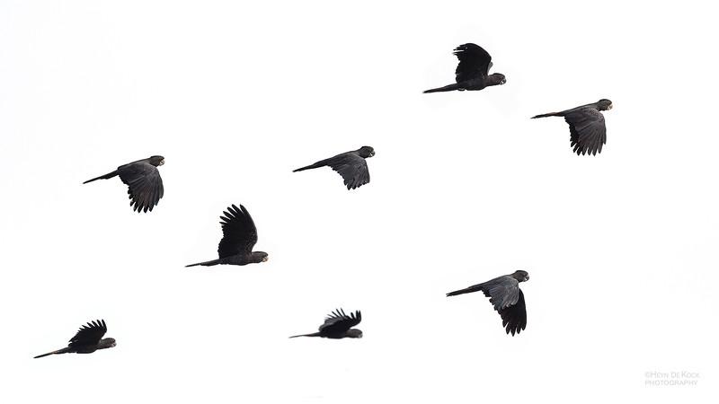 Red-Tailed Black-cockatoos, Hidden Valley, QLD, Jan 2020-1.jpg