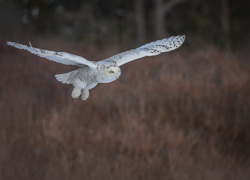 DSC_4169-Edit Snowy Owl DB woods.jpg
