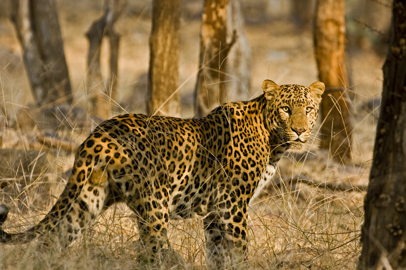 Leopard standing in the dry grasslands of Ranthambore national park