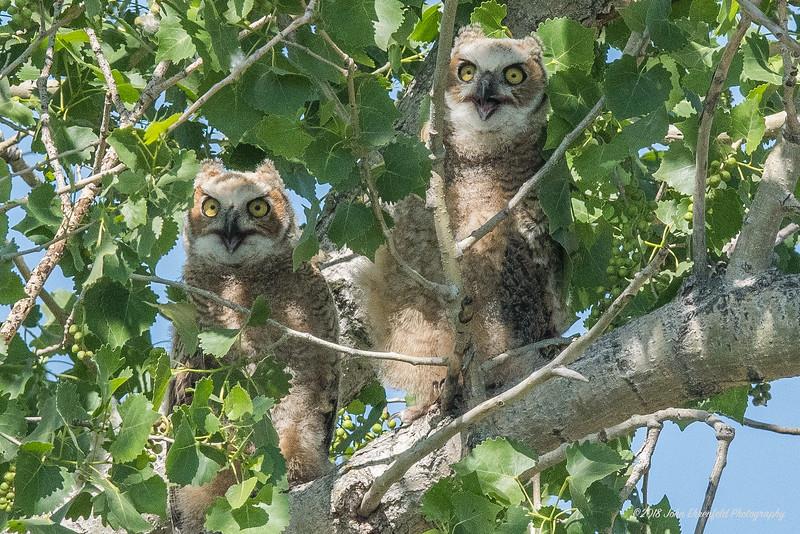 Owls Older.jpg