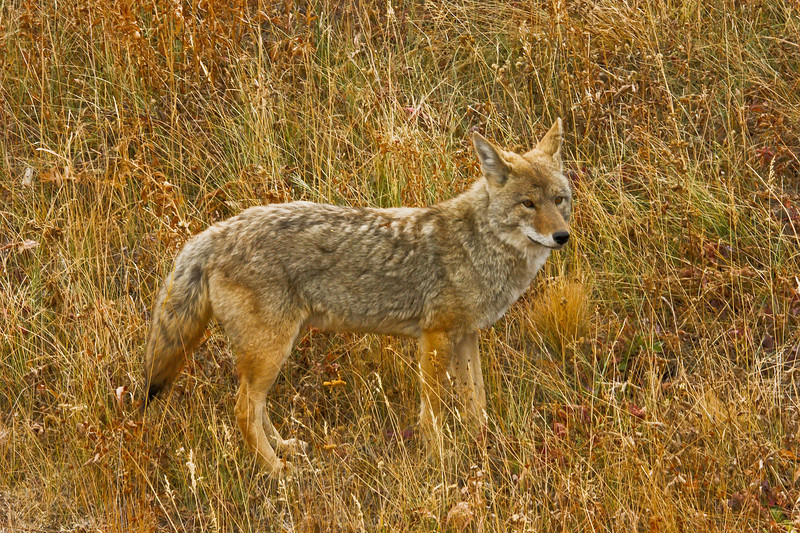 Coyote, Blacktail Plateau, Yellowstone.