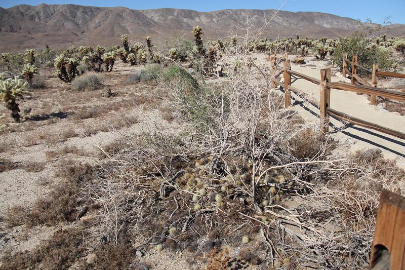 20190524-11-SoCalRCTour-Cholla Cactus Garden Trail-Joshua Tree NP.JPG