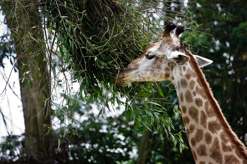 Giraffe, Singapore Zoo