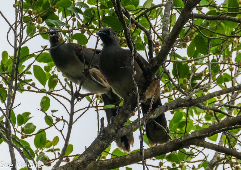 chachalaca birds (1 of 2).jpg