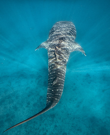 Swimming with Whale Sharks at Ningaloo
