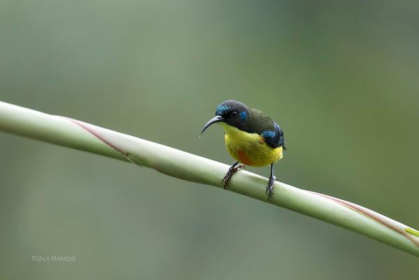 Lina's Sunbird
