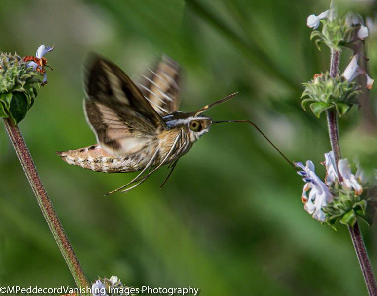 Sphnix Moth