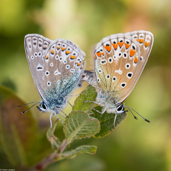 Common Blues