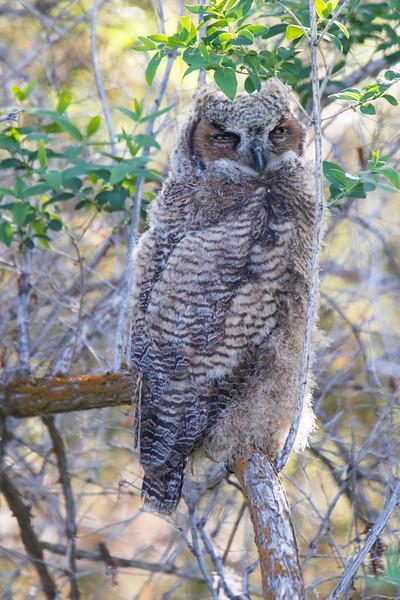 Great Horned Owls Malheur NWR-1.jpg