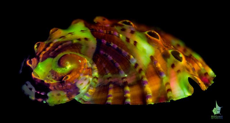 Abalone seashell (Haliotidae) fluorescence