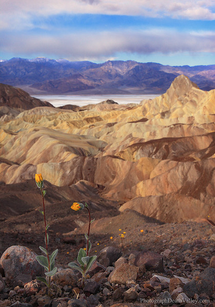Wildflowers Zabriskie Point Death Valley