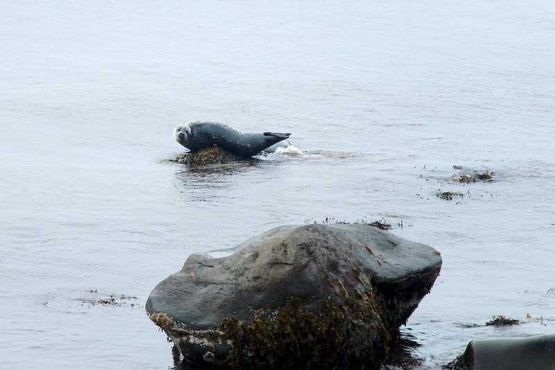 Selur í Hornvík.