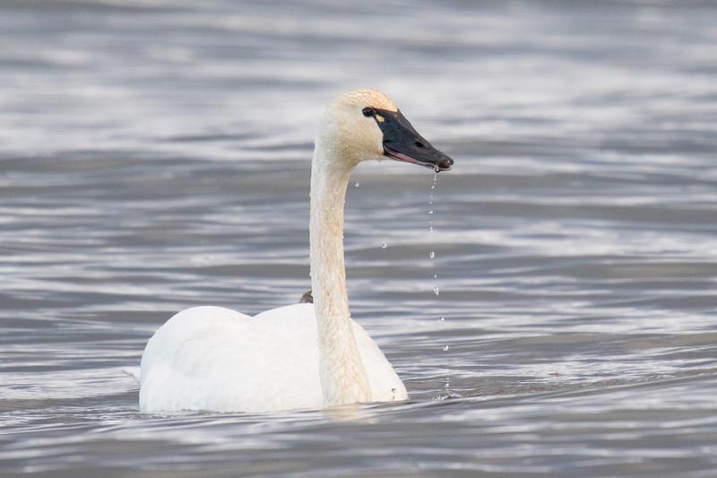 Tundra Swans 2020-1.jpg